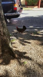 Wild Vieques Chickens