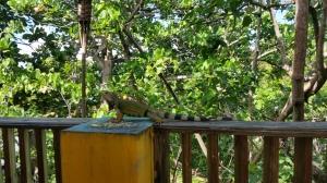 Bar Iguanas!