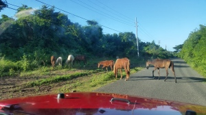 Wild horses of Vieques